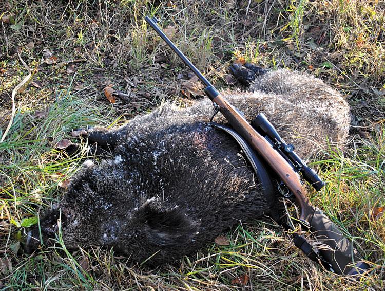 Молодой секач массой чуть более 100 кг. Добыт в ноябре 2011г. Львовская область
