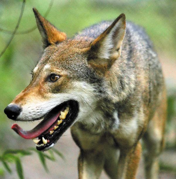 Летний волк