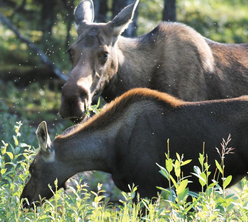 Летом лоси едят траву, акомары и слепни — лосей