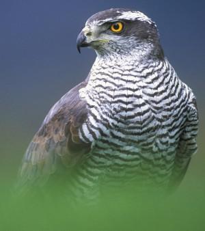 Ястреб-тетеревятник— одна из самых популярных у нас ловчих птиц