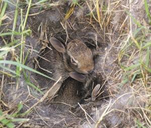 Крольчиха утепляет гнездо собственным пухом