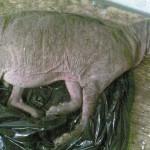 Енотовидная собака в образе чупакабры