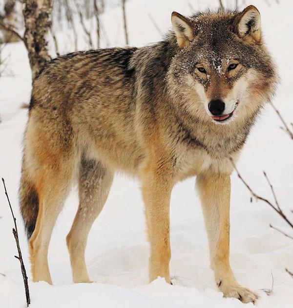 Зимой волк пушист и очарователен
