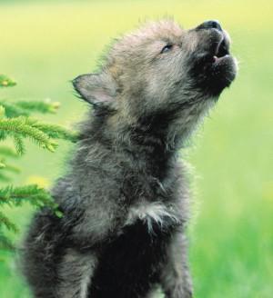 Такой маленький, а уже — волк